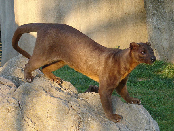 22 Strange Animals You Probably Didn't Know Exist - The Fossa