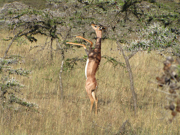 22 Strange Animals You Probably Didn't Know Exist - The Gerenuk 1