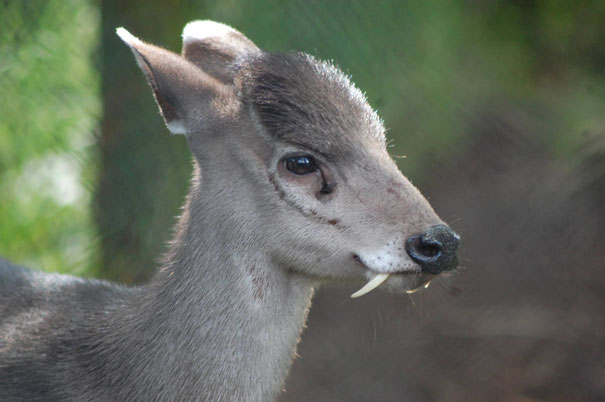 22 Strange Animals You Probably Didn't Know Exist - Tufted Deer