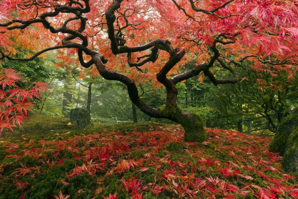 Beautiful Trees - Japanese Maple Tree