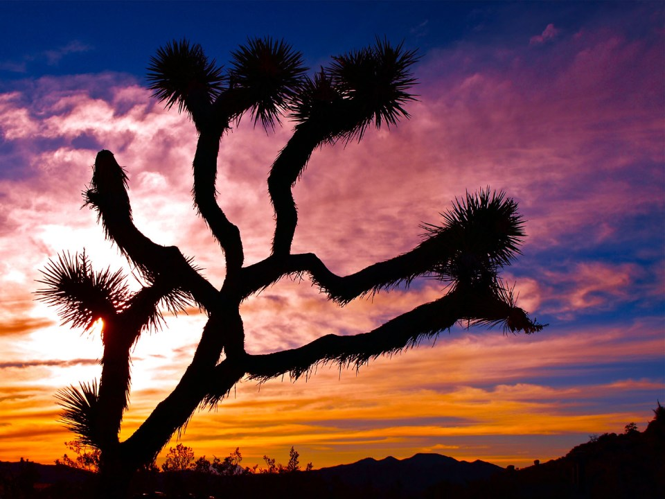 Beautiful Trees - Joshua Tree