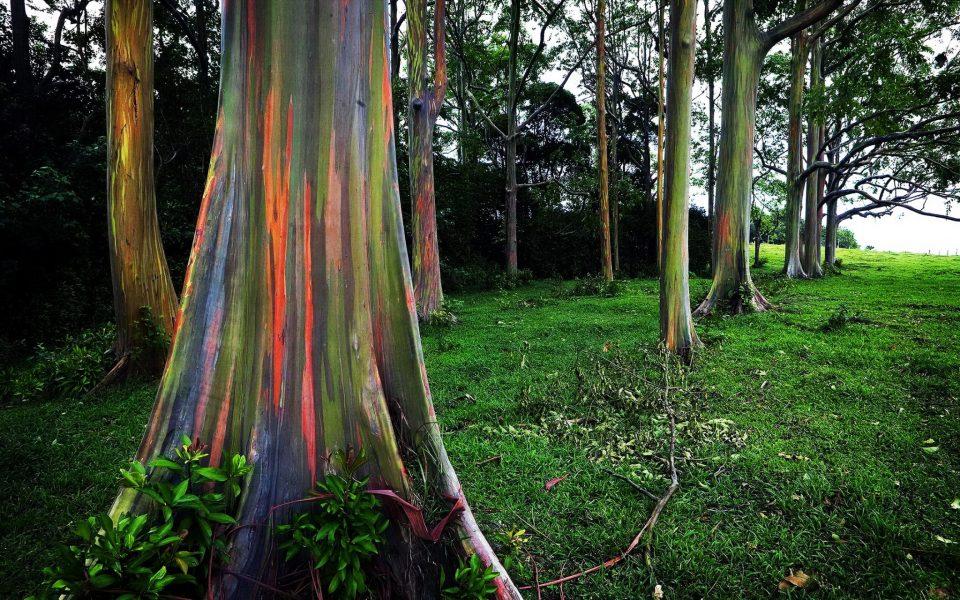 Beautiful Trees - Rainbow Eucalyptus