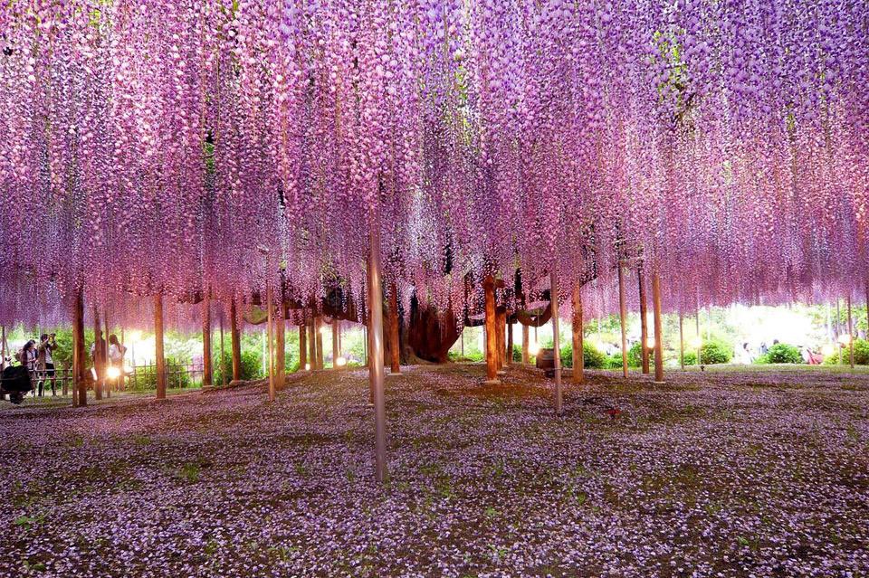 Beautiful Trees - Wisteria tree