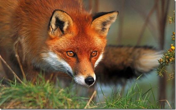 Mayan Spirit Animal - Fox