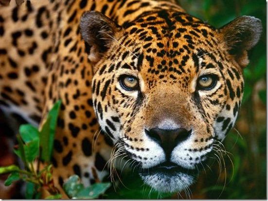 Mayan Spirit Animal - Jaguar
