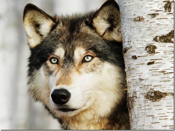 Mayan Spirit Animal - Wolf