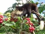 Kopi Luwak The Most Expencive Coffee