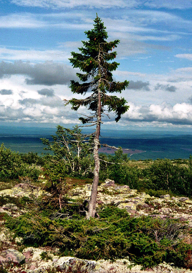 The Oldest Tree in the World - Old Tjikko