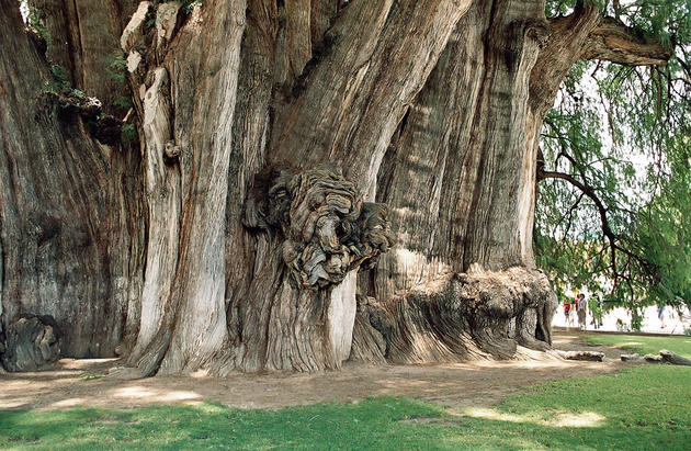 The Widest Tree Trunk in the World - Arbol del Tule Tree 1