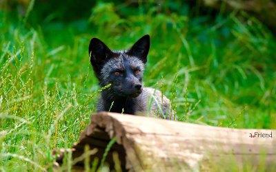 The Unique Beauty Of Black Foxes