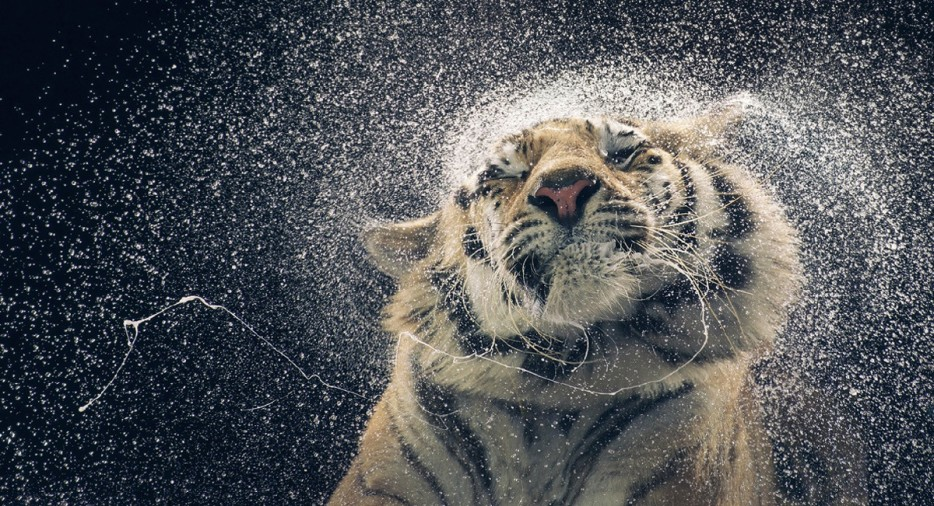 Tiger Shaking His Head To Clean Off Water