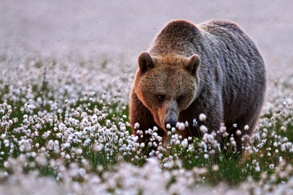 bear smell flowers