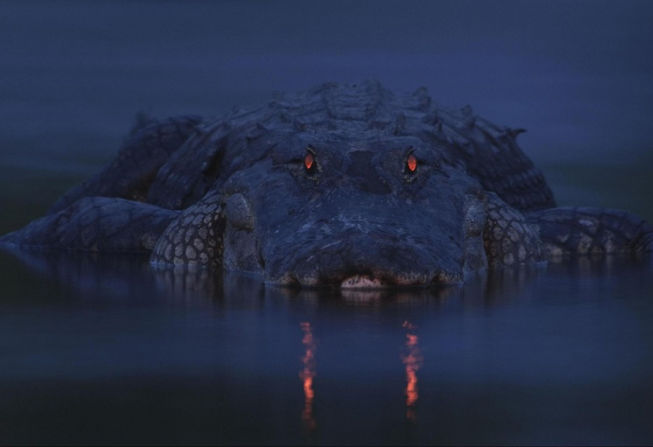 aligator