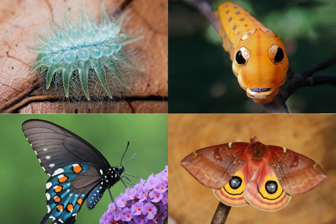 19 Magical Transformations From Caterpillar Into Moth Or Butterfly