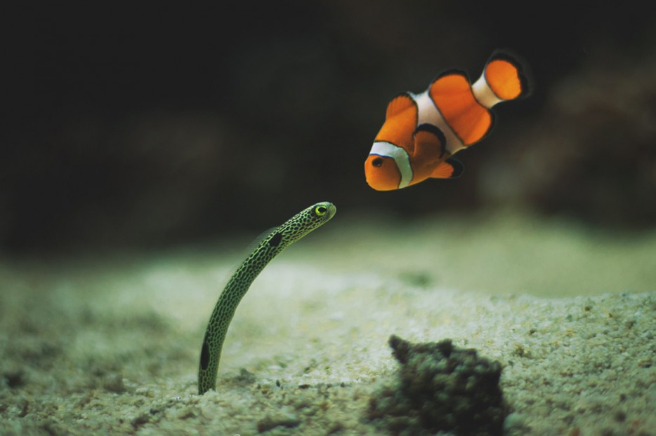 A curious Sea snake & Clown fish