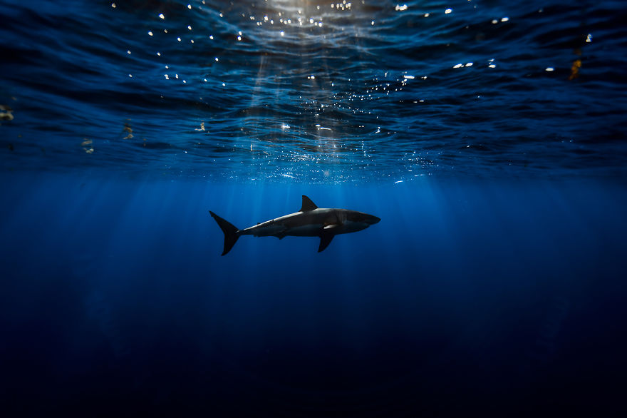 Majestic Pictures of Great White Sharks
