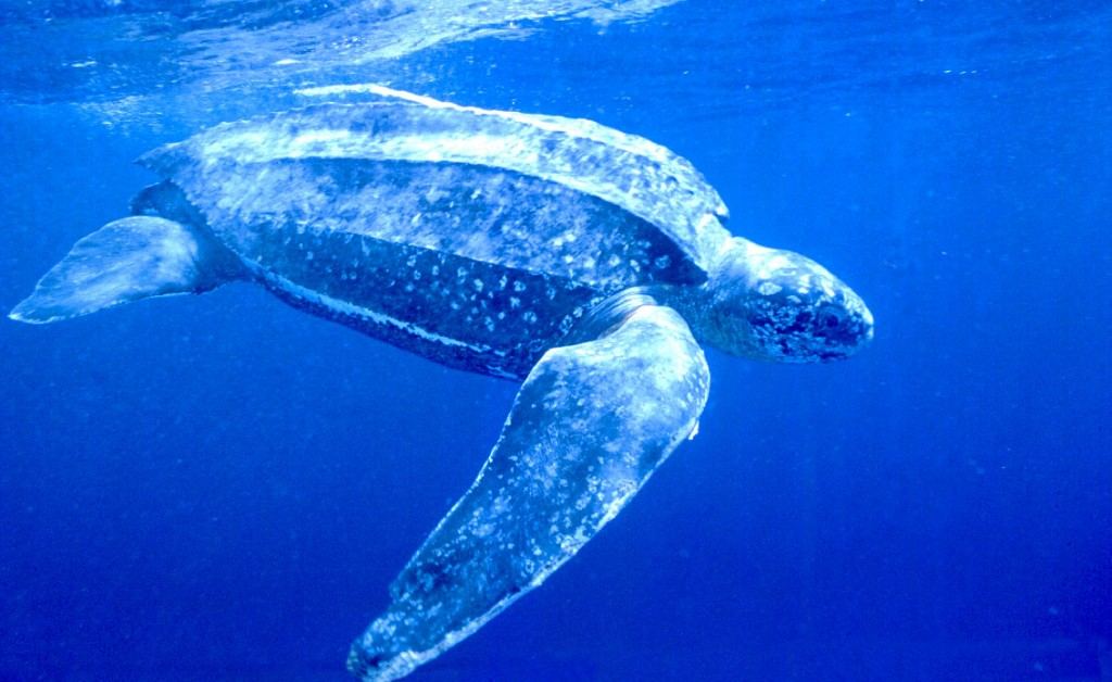 Scariest Mouth in the World Belongs To Leatherback Turtle's