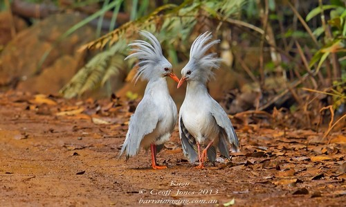 Beautifully Crowned Birds - 4. Kagu
