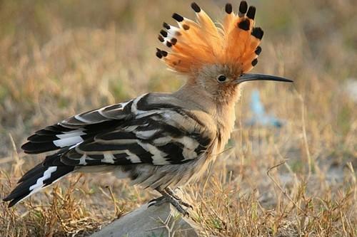 Beautifully Crowned Birds - 6. Hoopoe