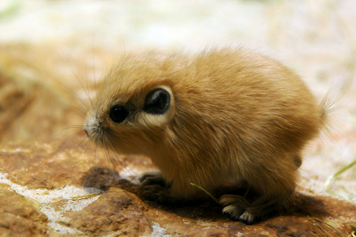 Rare Animal Babies You've Never Seen Before - 15. Baby Gundi