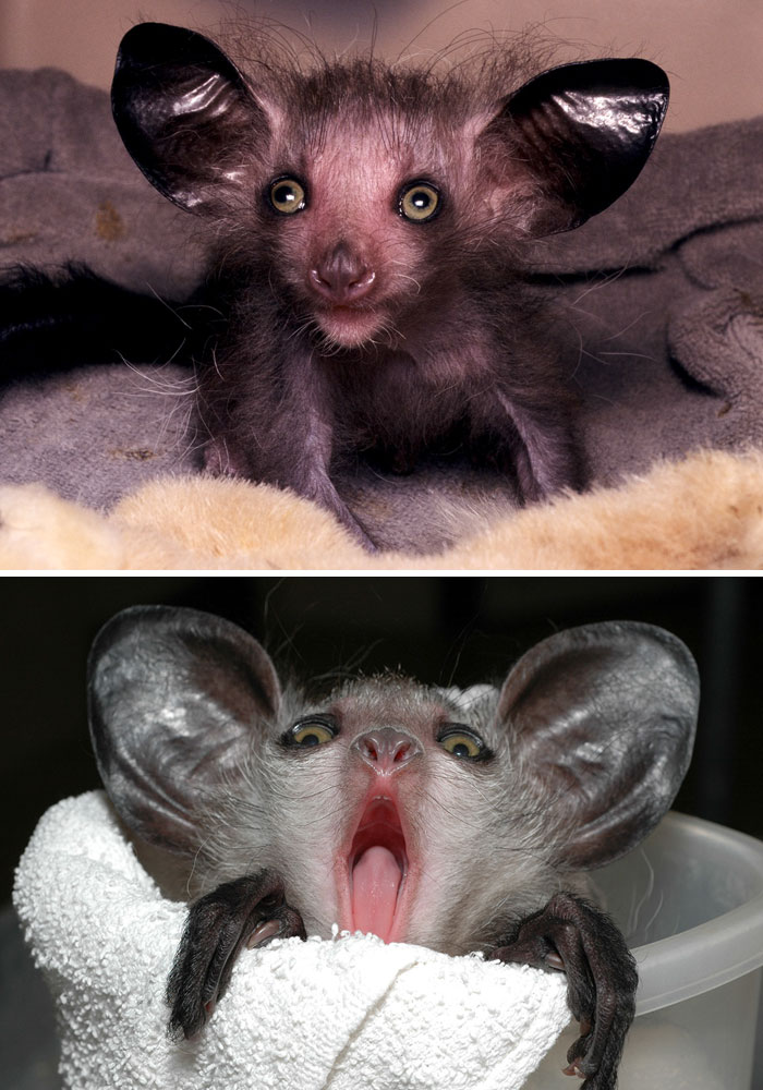 Rare Animal Babies You've Never Seen Before - 24. Baby Aye-Aye