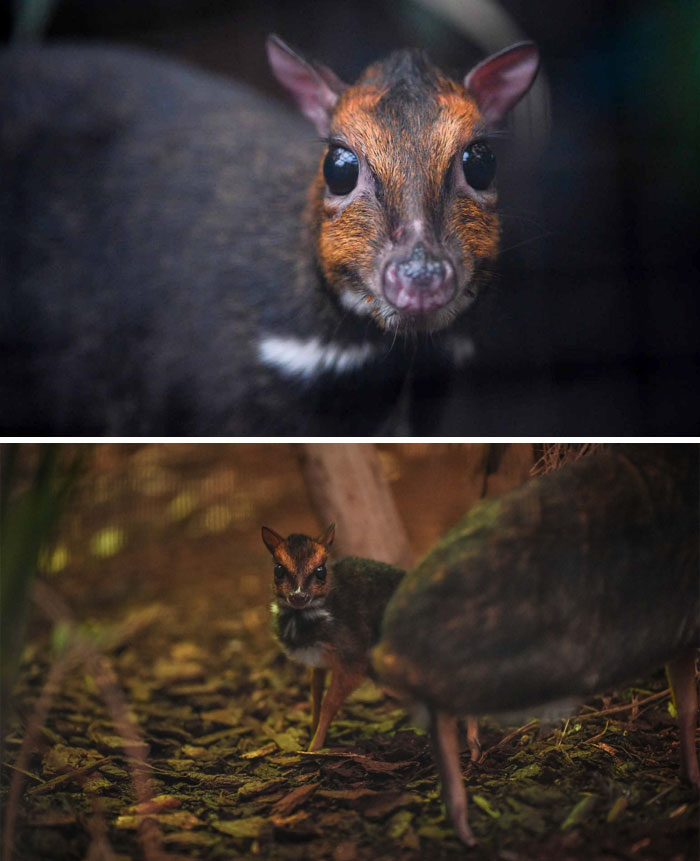 Rare Animal Babies You've Never Seen Before - 26. Baby Mouse Deer