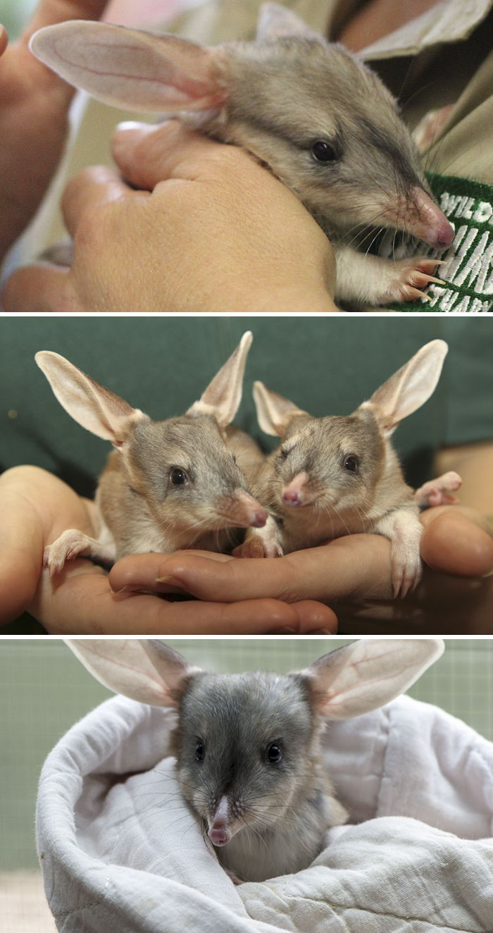 Rare Animal Babies You've Never Seen Before - 30. Greater Bilby Baby