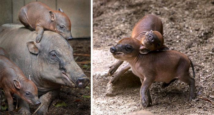 Rare Animal Babies You've Never Seen Before - 36. Babirusa Babies