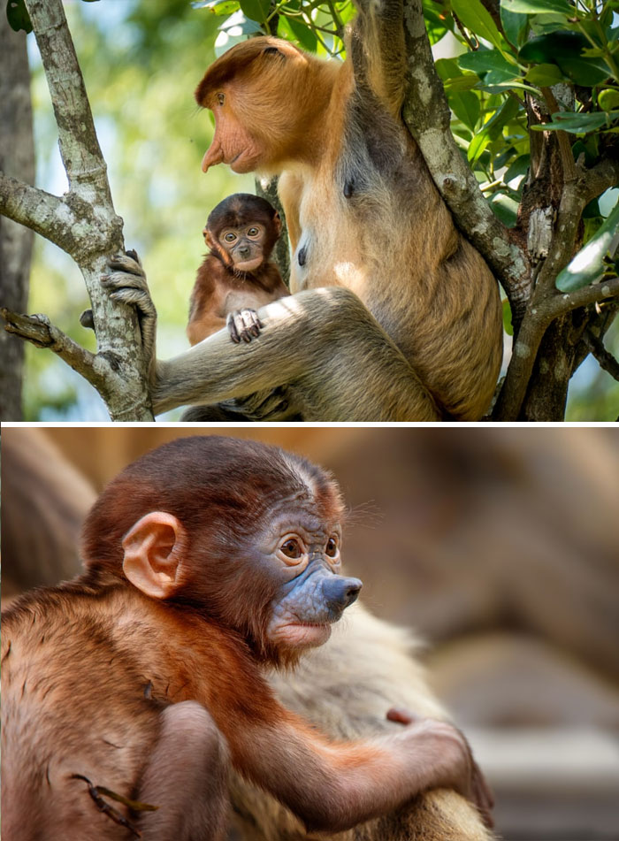 Rare Animal Babies You've Never Seen Before - 37. Baby Proboscis Monkey