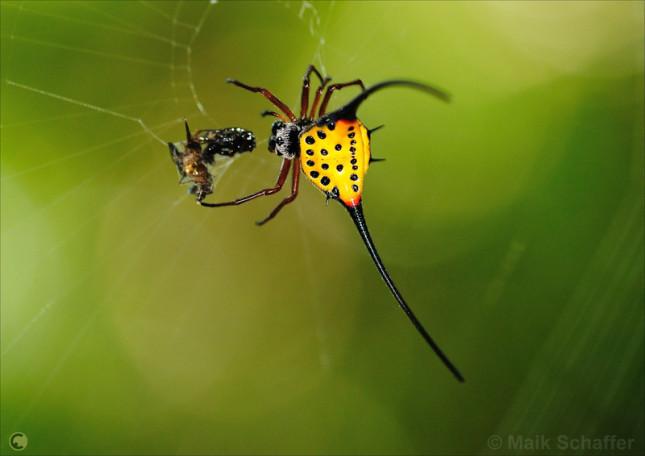Long-Horned Orb-Weaver Spider 1