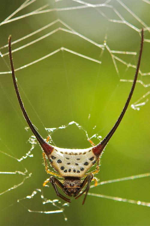 Long-Horned Orb-Weaver Spider 3