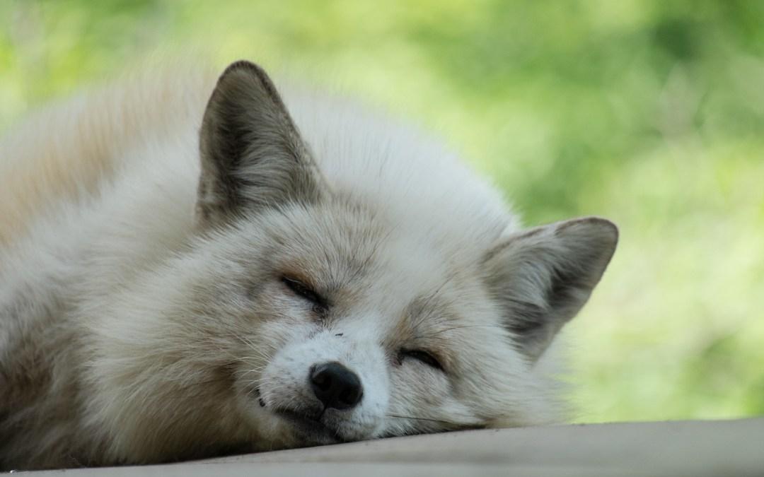 Photos of Adorable Sleepy Foxes