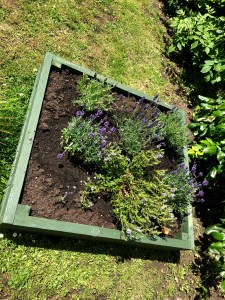 My Bee Bed! Planted two types of Lavender and a Bee Loving Hebe!