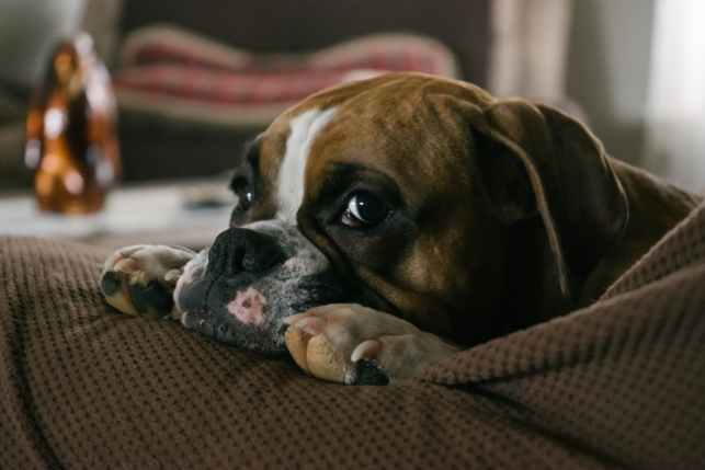 english bulldog on couch