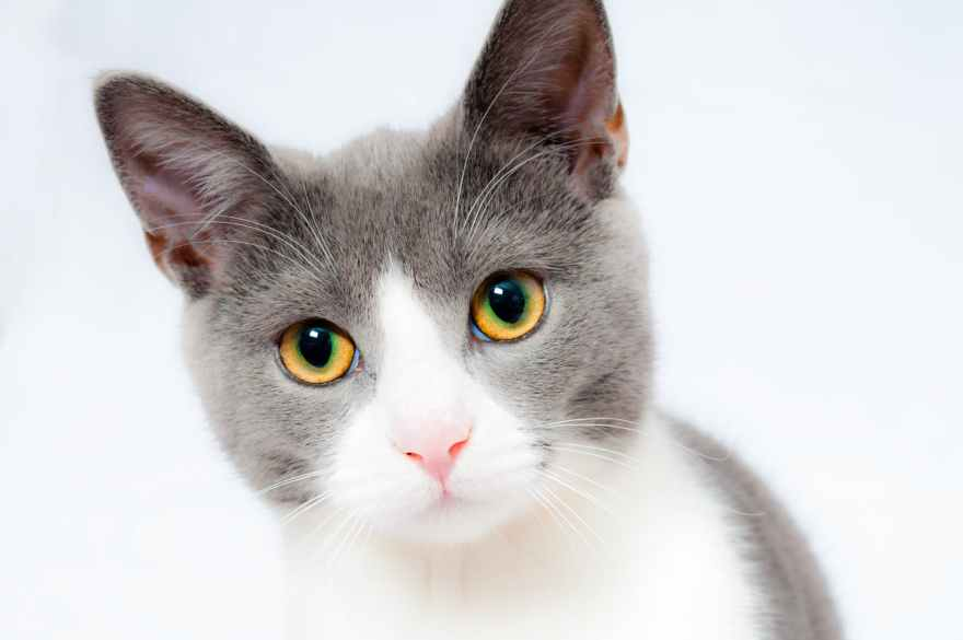 grey and white short fur cat