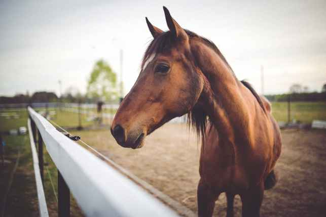 animal-brown-horse