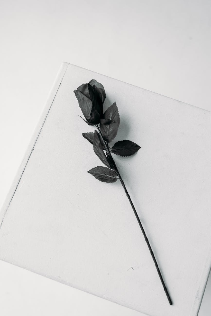 black rose on white paper