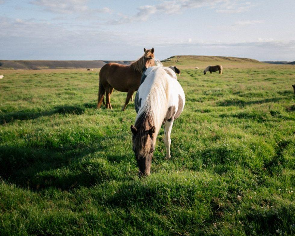 sea kelp fr horses