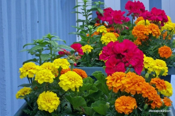 MArigolds for natural fly control