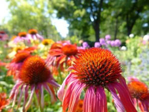 Why Everyone Should Have Echinacea