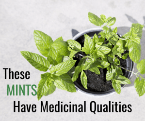 Mints That Provide Medicinal Qualities