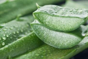 L'aloe vera, une plante pour le bien-être indispensable !