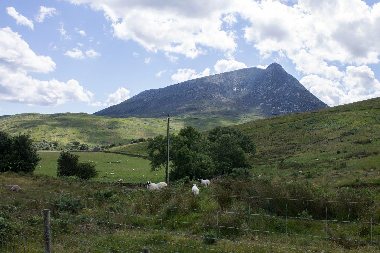 Sheep on Isle of Arran