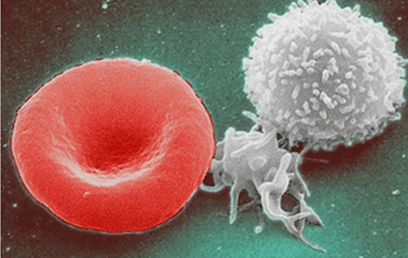 White blood cells (right) help immune response, and they can be recycled through fasting, the study said.