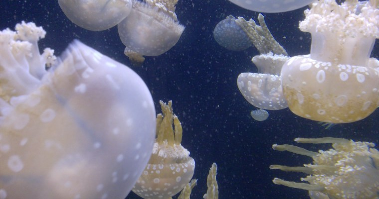 Jellies Are Taking Over!