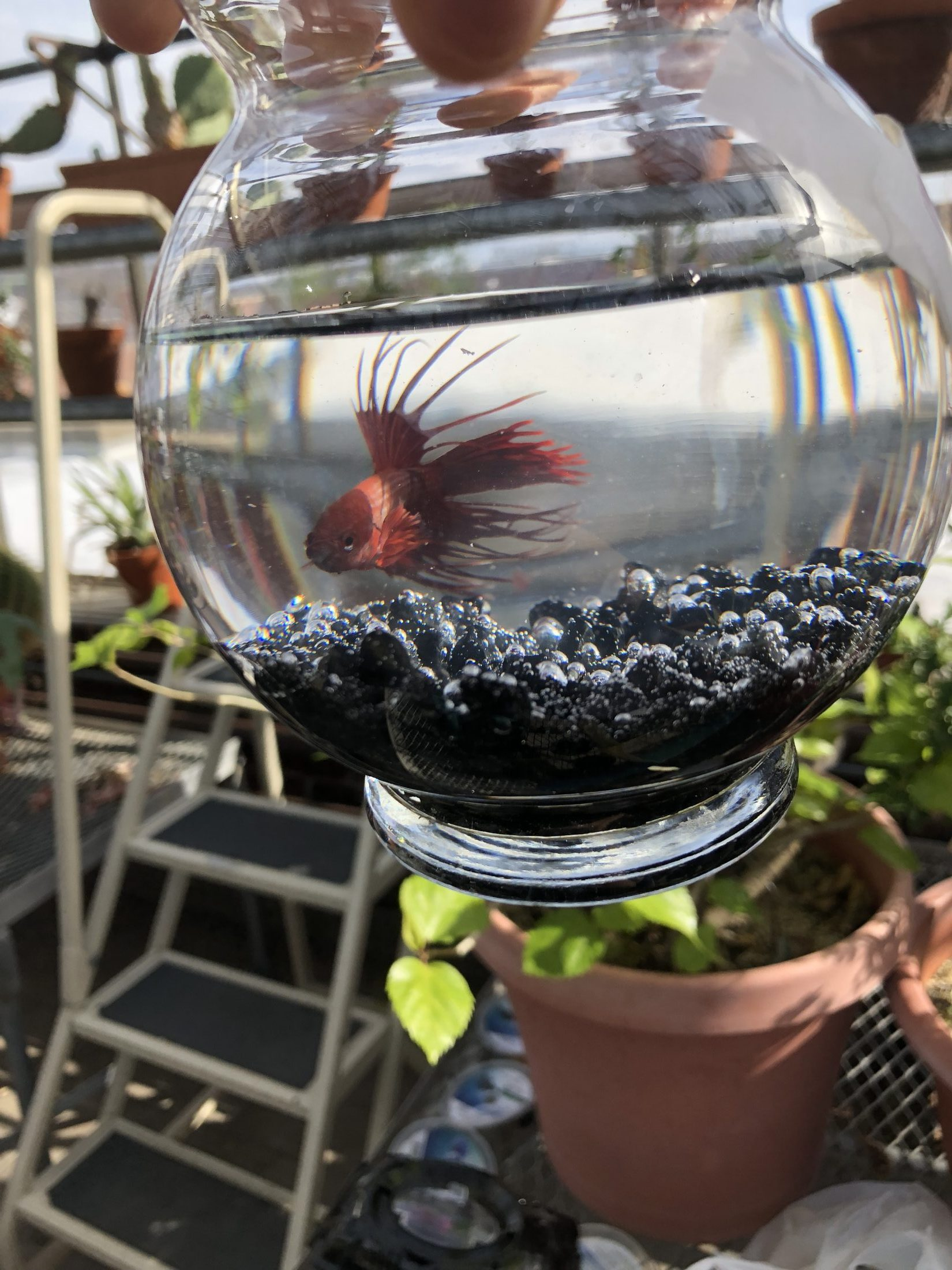 The Cycle of Betta Splendens and their unique behaviors