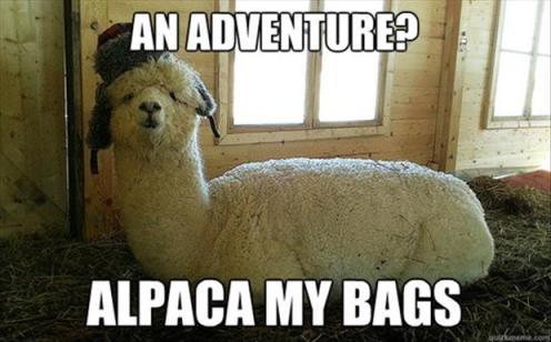 alpaca-funny-animals2