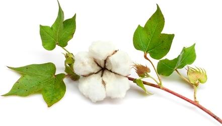 martinsville-cotton_plant2
