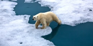 Climate Change polar bear