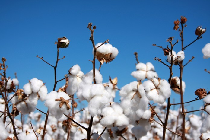Agriculture cotton agribusiness